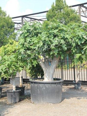vijgenboom productinformatie winterharde vijgenboom olijfboom specialist. Black Bedroom Furniture Sets. Home Design Ideas