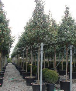 "Photinia fraseri ""Red robin"" pyramidekroon"